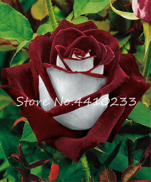 Amanda Rose Flower Seeds