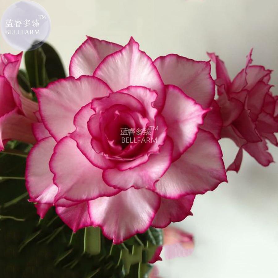 Bellfarm Adenium Whitish Light Pink Flowers With Rose Red Edge 10