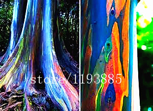 200PCS/BAG rare Rainbow Eucalyptus deglupta seeds,bonsai tree seeds potted Courtyard plant for home garden send you gift