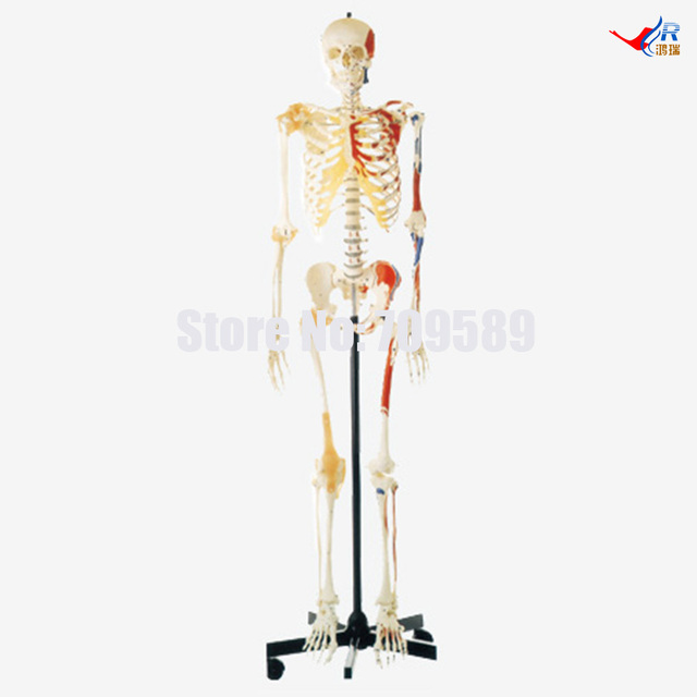 Human Skeleton With One Side Painted Musclesfemale Pvc Education