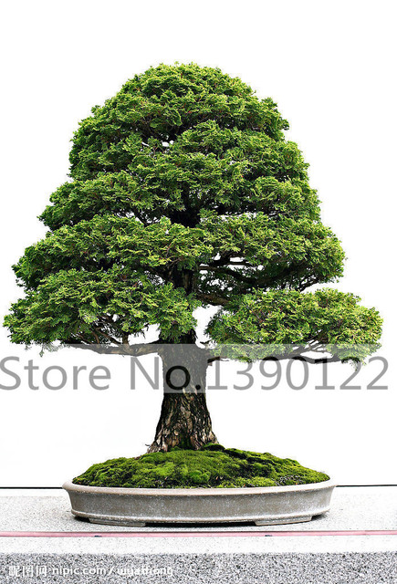 20 chinese cypress trees seeds bonsai cypress seeds for diy home garden tree seeds mini bonsai - Trees For Home Garden