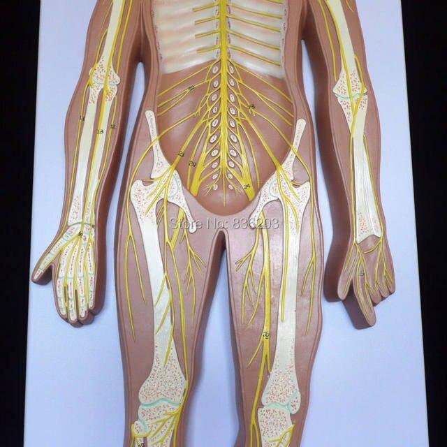 Tienda Online Sistema nervioso humano anatomía modelo anatómico ...