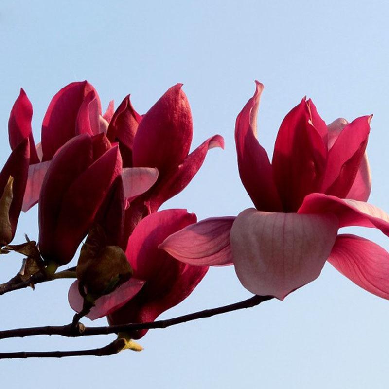 Compra magnolia de color rojo online al por mayor de china - Semilla de magnolia ...