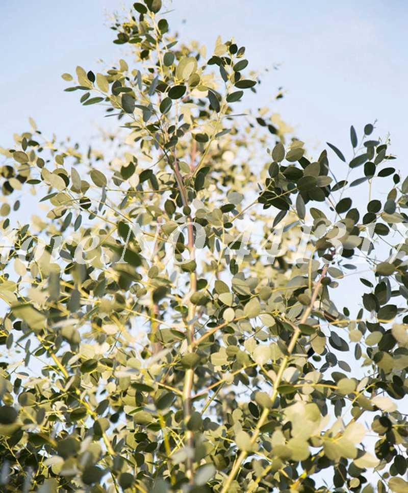 كبير بيع هاواي شجرة الكينا ، 100 قطع 100% حقيقية شجرة الزينة الغريبة بونساي النمو الطبيعي الرئيسية حديقة الحلي النبات