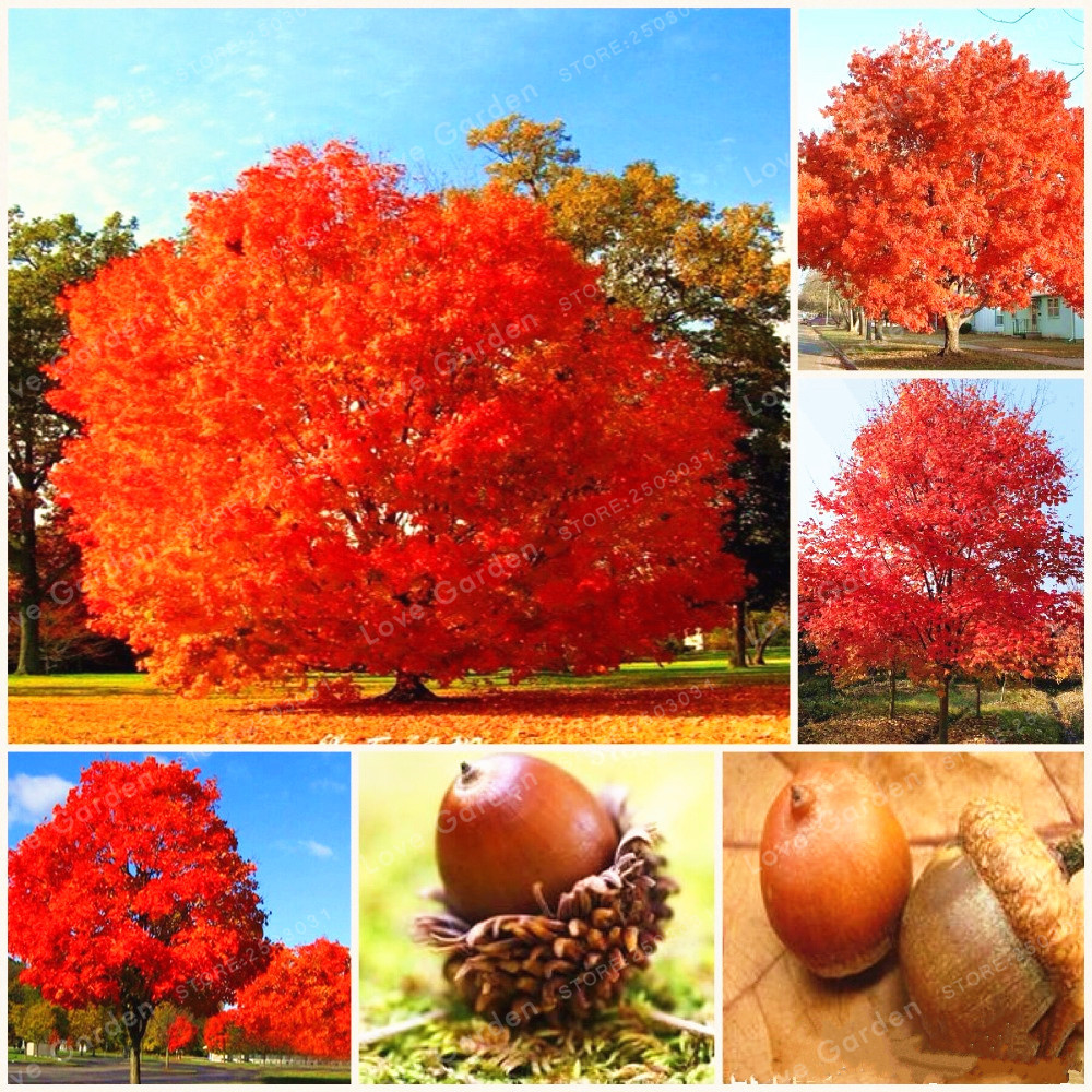 On Sale 10 Pcs Rare Red Oak Tree Bonsai Quercus Alba Acorns Bonsai For DIY  Home Garden Easy To Grow-in Bonsai from Home & Garden on Aliexpress.com |  Alibaba ...