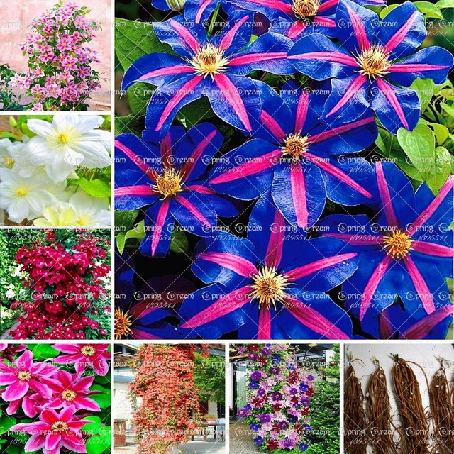 Aliexpress buy real clematis bulbs not clematis seeds real clematis bulbs not clematis seeds bonsai flower bulbs climbing plant perennial mightylinksfo Gallery