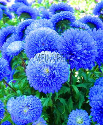 New Arrival!200 PCS/BAG aster seeds aster flower bonsai flower seeds rainbow chrysanthemum seeds Perennial flowers home garden p