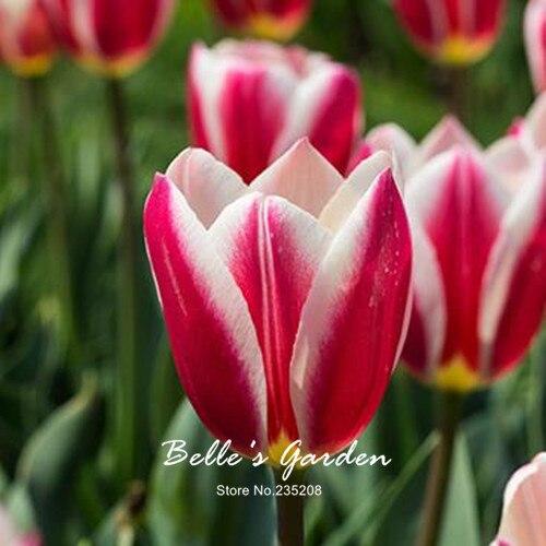 aliexpress: comprar 5 unids rare blanco rojo tulipán bulbos de