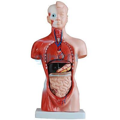 Human 26cm Torso Anatomical Model Skeleton Medical Anatomy 15 Part plastic standing human skeleton life size for horror hunted house halloween decoration