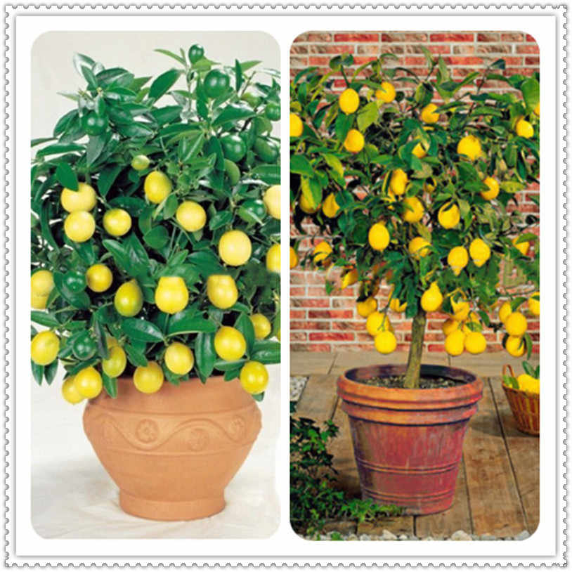 Big Promotion !Edible Fruit Meyer Lemon Bonsai, Exotic Citrus Dwarf Bonsai Lemon Tree Fresh Plants Fruit Vegetable, 100Pcs/Bag