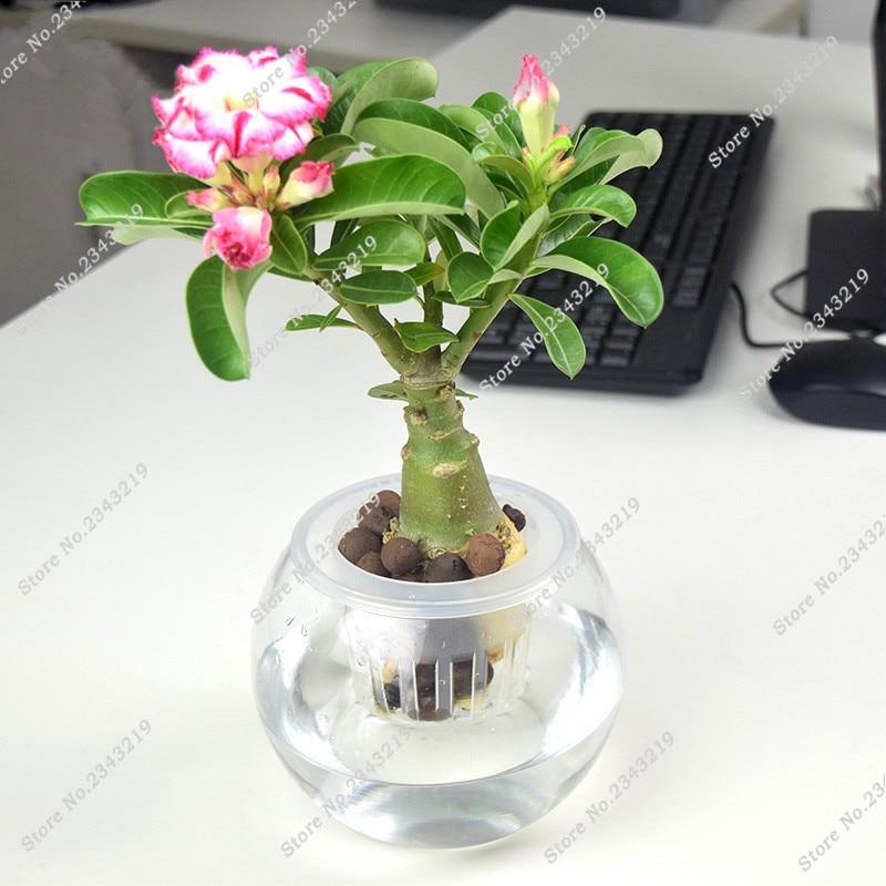 1 unids una bolsa desierto rosa semillas plantas de interior flores bons is mini maceta rbol - Semillas de interior ...