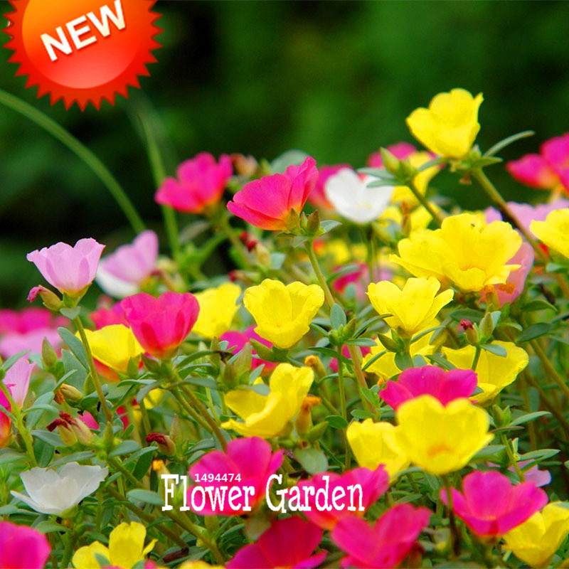 Big Sale!200 Seed/lot Mix Sun Flower Plant Seed Flower Balcony Garden Potted Plant Portulaca grandiflora Flower Seeds,#4TFG0I