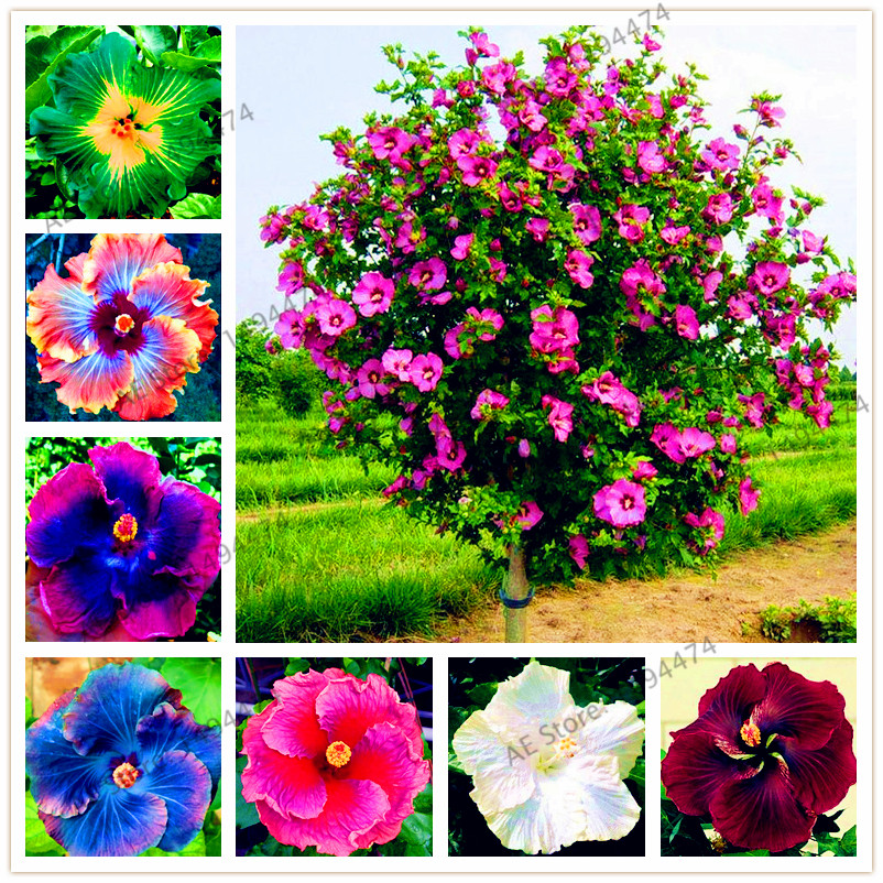 100pcs/bag24 colors giant hibiscus seeds Dinnerplate Hibiscus Perennial Flower Flower for home garden planting-in Bonsai from Home \u0026 Garden on ... & 100pcs/bag24 colors giant hibiscus seeds Dinnerplate Hibiscus ...