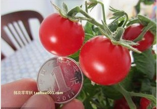 Pocket pearl Tomato seed fruit  Potted Garden vegetable ornamental plant Free shipping 100pcs seeds