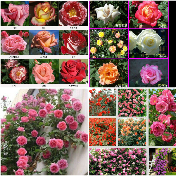 100seeds/lot 24 kinds mix Climbing Rose Chinese Rose Flower Seeds polyantha Rose seeds