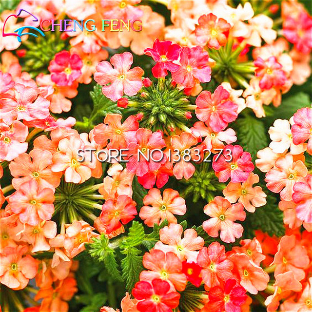 30 Particles Whip Grass Seed Verbena Seeds Lemon Flavor Vanilla Seeds Very Easy Grow Garden Decoration Flower Plant Semillas