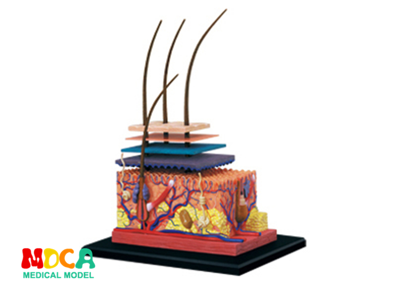 Skin and hair 4d master puzzle Assembling toy human body organ anatomical model medical teaching model