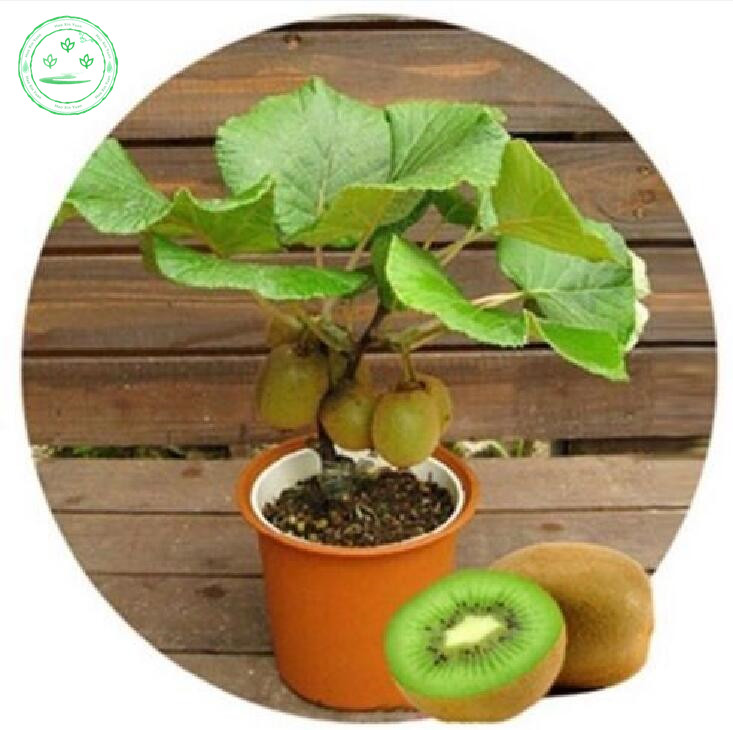 kiwi tree promotionshop for promotional kiwi tree on aliexpress, Natural flower