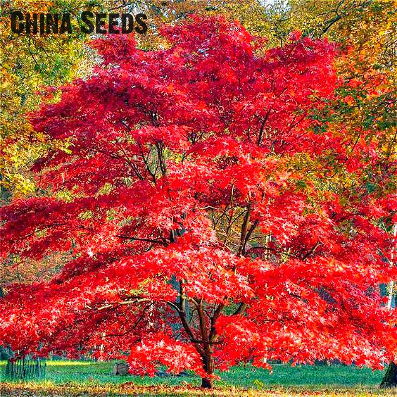 Vendita calda un imballaggio 20 pz coulerful rari semi di for Acero bonsai vendita
