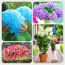 100 Pcs/Bag Mixed Bonsai Hydrangea Flower 15 Colors Rare Plants Indoor for Home Garden Potted