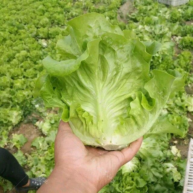 Новый 1000 шт греческий салат бонсай хороший вкус, легко выращивать, отличный выбор салата, DIY домашние горшечные растения, экологически чистые овощные травы