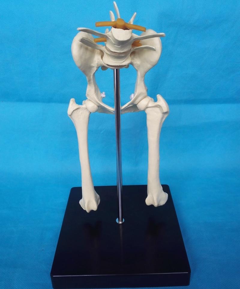 Dog Lumbar Hip Joint Model Animal Anatomy Model Veterinary Appliances Medical Life Size Dog Pelvis Anatomical