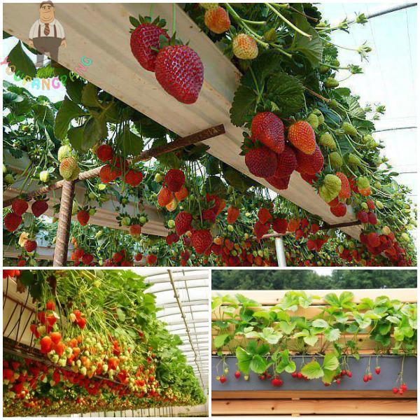 18 Edible Garden Designs Ideas: Rare Giant Red Strawberry Plants Climbing Edible