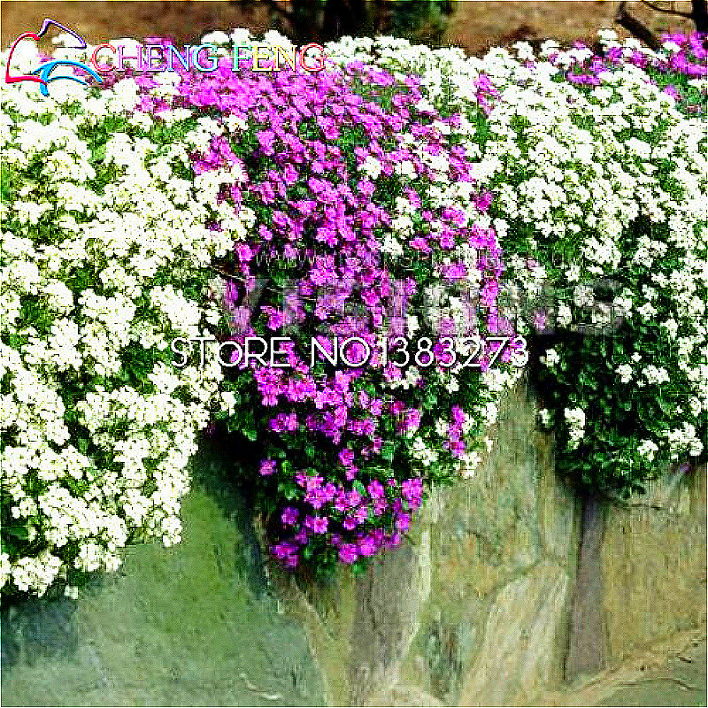 Rock cress seeds 100 piecespack aubrieta cascade purple flower rock cress seeds 100 piecespack aubrieta cascade purple flower seeds superb perennial ground cover plants home garden bonsai in bonsai from home garden mightylinksfo