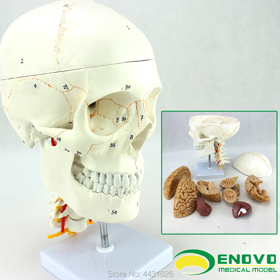 ENOVO Brain head and muscle brain model of medical human.brain ...
