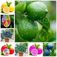20 Pcs Bonsai Lemon Potted Edible Tangerine Citrus Fruit Dwarf Lemon Tree Indoor Plant For Home Garden Planting Easy to Grow(China)