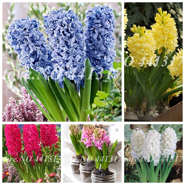 100pcs New Hyacinthus Orientalis Bonsai Jardin Hyacinth Potted Indoor Plants Flowers Outdoor Flower For