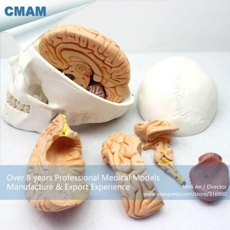12326 CMAM-SKULL01 Brain Removable Human Skull Anatomical Education Models cmam brain17 human sympathetic nervous system anatomical model for education