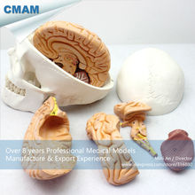 CMAM-SKULL01 Brain Removable Human Skull Anatomical Education Models