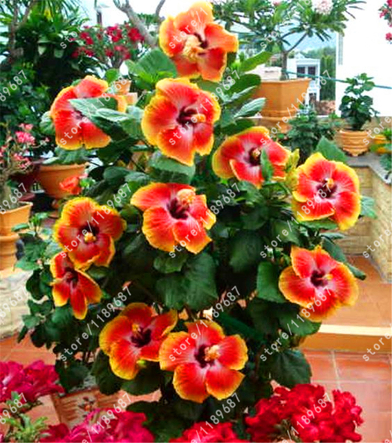 200pcsbag Hibiscus Flower Bonsai Flower 24 Colors To Choose Plant