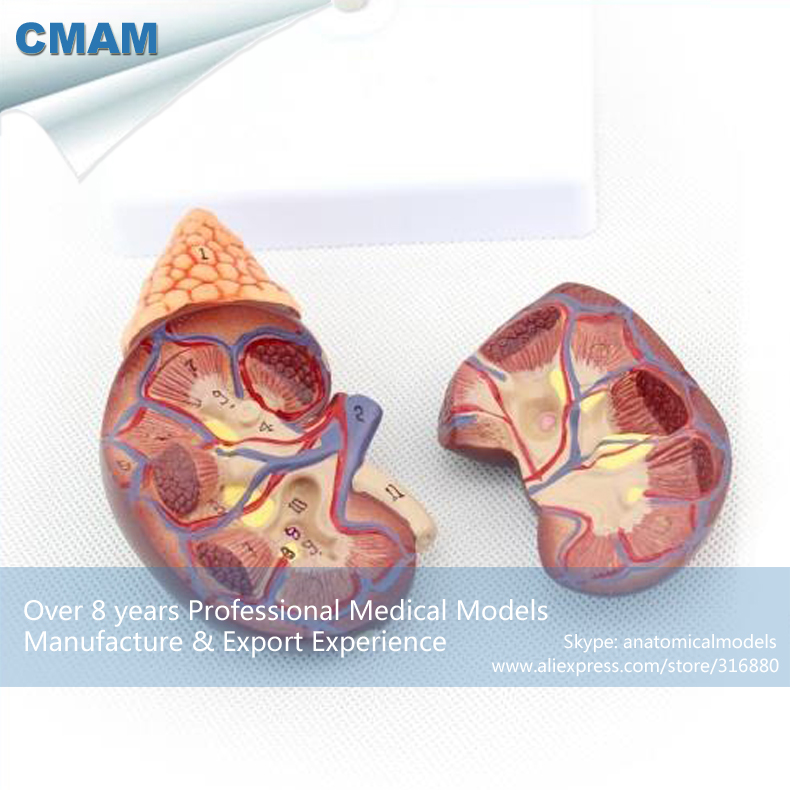12433 CMAM-KIDNEY04 Life Size Human Kidney with Adrenal Gland Anatomy,  Medical Science Educational Teaching Anatomical Models 12400 cmam brain03 human half head cranial and autonomic nerves anatomy medical science educational teaching anatomical models