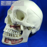 CMAM/12569 Dental skull, 10parts, Human Oral Dental Medical Teaching Anatomical Model