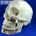 CMAM/12569 Dental schädel  10 teile  Menschliches Oral Dental Medizinische Lehre Anatomisches Modell|skull model|model skullmedical skull model -