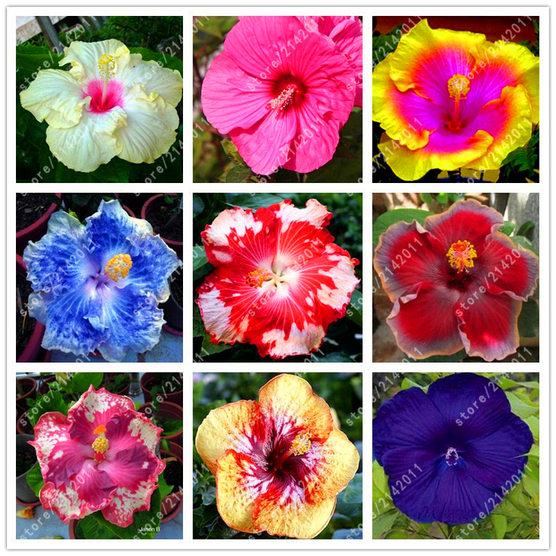 100pcsbaghibiscus Flores24 Colors Hawaii Bonsai Potted Hibiscus