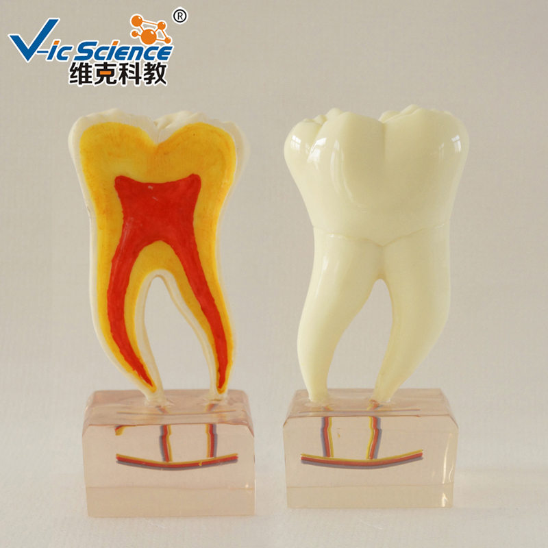 6 Times Anatomy Teeth Model/Teeth model/Dental model6 Times Anatomy Teeth Model/Teeth model/Dental model