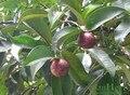 Свежий мангустин Экстракт плодов Порошок 10% Mangostin для продажи 500 г