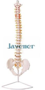 """29""""inch Human Anatomical Anatomy Spine Medical Model+Stand Reasonably Priced"""