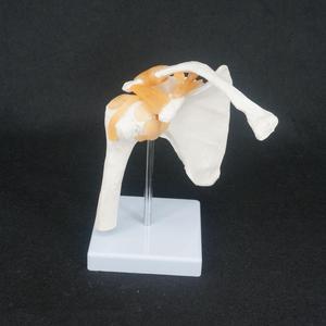 Image 1 - Esqueleto anatómico de tamaño real, modelo de articulación de hombro, anatomía médica humana para estudio médico
