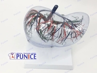 Transparent liver model Liver anatomical model
