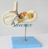 내부 귀 해부학 의료 모델의 인간 해부학 미로를 확대