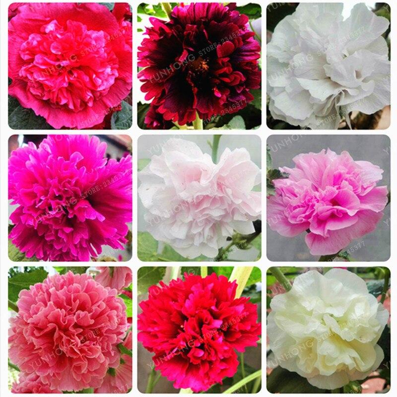 Мальва бонсай редко бонсай алтей Розовая цветочные бонсай дома сад открытый цветы 100 шт./пакет Hollyhock бонсай смешивают Цвет