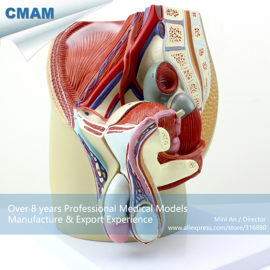 12439 CMAM ANATOMY01 Life Size Male Pelvis Section Anatomical Model ...