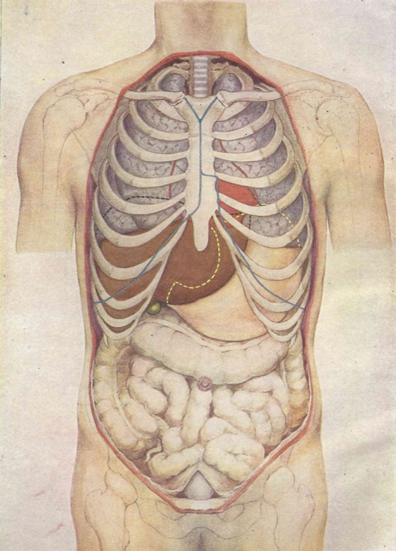 Vintage Human Visceral Anatomical Drawings Poster Canvas Painting