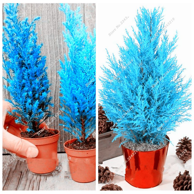 Rare Blue Cypress Seed Christmas Tree Conifer Bonsai Seed, Home Garden Potted Plant Seedling Semillas Easy Grow 50 Pcs / lot