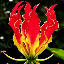 50 Pieces Garland Flame Lilium brownii Flower Seeds Balcony Bonsai Courtyard Plant Flowers Lily Seed