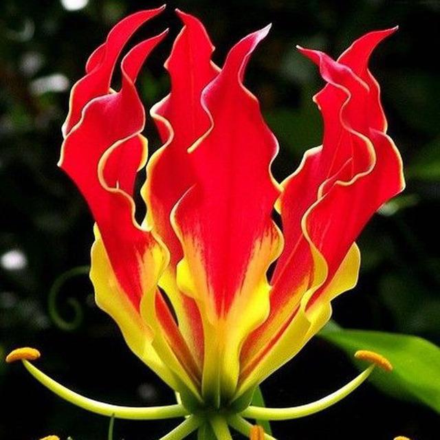Garland Flame Lilium Seeds, 50pcs/pack